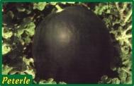 anguria nera ibrido
