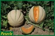 melone retato giallo