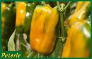 peperone giallo ibrido