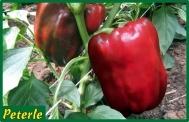 peperone rosso ibrido