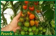 pomodoro ciliegino da incannare ibrido