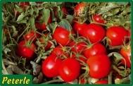 pomodoro ciliegino ibrido