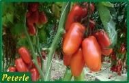 pomodoro san marzano incannare ibrido