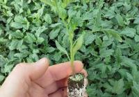 vivaio-peterle-arborea